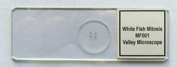 MF001 - Mitosis, White Fish